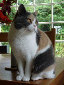 british shorthair calico