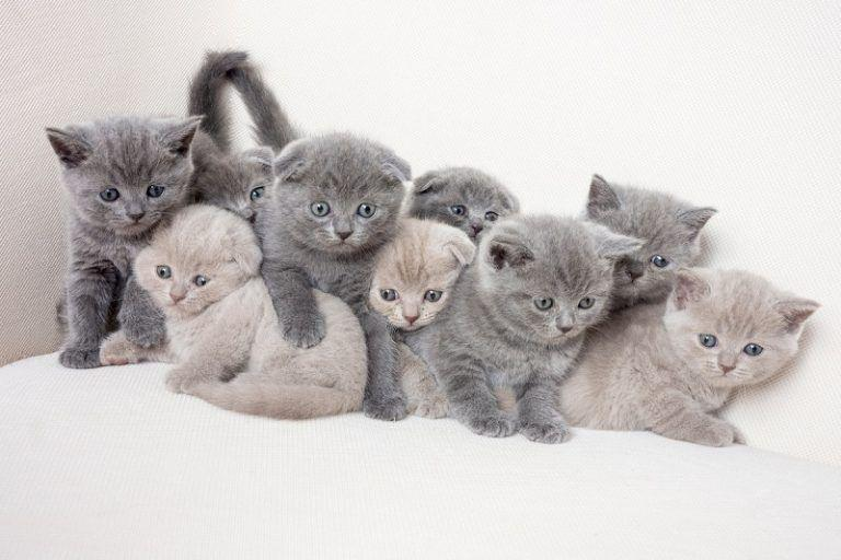 camada de gatos scottish fold