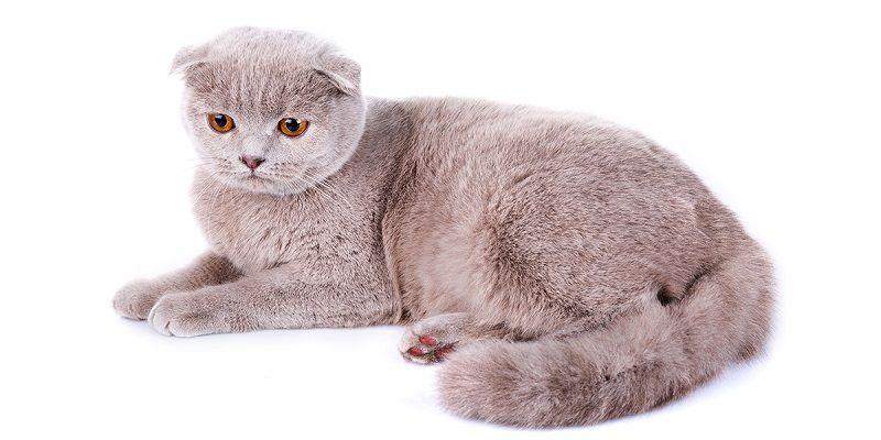 ficha gato scottish fold