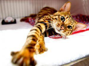 caracter del gato toyger