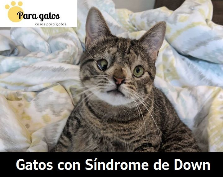 gatos con síndrome de down